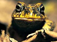 箭毒蛙牛蛙蛙类动物图片合集