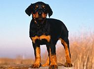罗威纳犬中忠诚帅气的幼犬图片