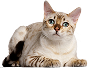 埃及猫动作可爱乖巧图片