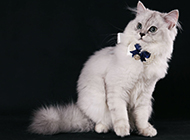 成年金吉拉猫图片俏皮可爱
