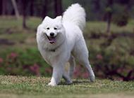 纯种萨摩耶犬户外活泼好动图片