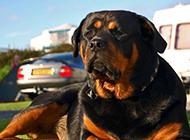 罗威纳犬眼神高傲霸气图片