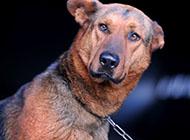 锤系搞怪苏联红犬图片