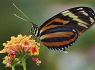 美丽蝴蝶高清小动物图片