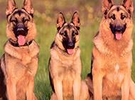 帅气的狗狗短毛德国牧羊犬图片
