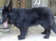 健壮结实的小黑熊犬图片
