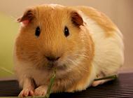 肉嘟嘟的荷兰猪豚鼠图片大全