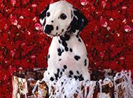 精美可爱狗狗高清动物壁纸