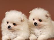白色博美犬小时候萌图