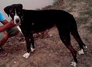 库达犬健壮身躯图片