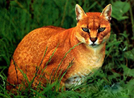 亚洲金猫眼神犀利图片