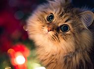 好看的波斯猫图片大全欣赏