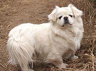 纯白色小京巴犬野外散步图片精选