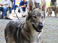 表情凶狠的捷克狼犬图片
