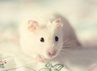 小白鼠可爱调皮图片