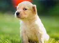 温顺的金毛寻回猎犬动物壁纸