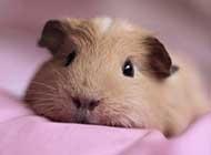 超可爱小动物荷兰猪图片欣赏