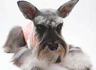 毛发柔软的苏格兰梗犬图片