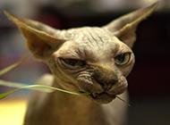 斯芬克斯无毛猫图片表情搞怪