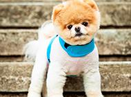 最美博美犬卖萌图片
