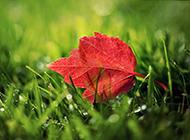 秋天红色枫叶风景图欣赏