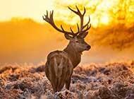 森林中的麋鹿唯美高清图片