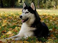 阿拉斯加调皮狗狗图片特写
