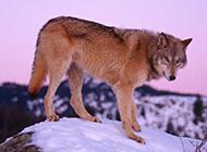 雪地草原大灰狼高清图片