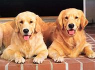 懒洋洋的金毛狗狗成年图片
