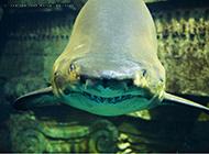 模样凶猛的大鲨鱼图片