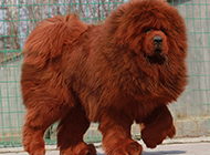 圆呼呼的狮系藏獒犬图片