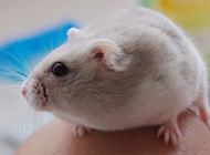 奶茶仓鼠可爱的图片