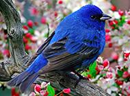 置身花丛的蓝色知更鸟图片