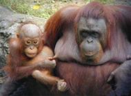 猩猩搞笑图片之宝宝,妈妈疼啊