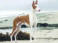 线条优美的法老王猎犬图片