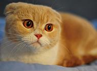 漂亮的成年折耳猫图片欣赏