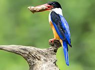 广西荆棘鸟吃虫子图片