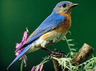 可爱北美蓝知更鸟图片