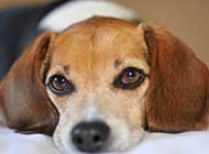 可爱小宠物比格犬高清图片