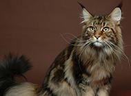 虎棕挪威森林猫威武神气图片