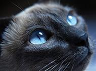 眼神虔诚向往的孟买猫图片