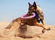 昆明狼犬沙地训练图片勇敢自信