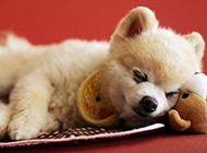 俊介犬狗狗睡觉图片大全