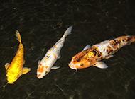 孔雀锦鲤水中自在畅游图片