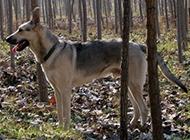 沉稳勇敢的狼青犬图片