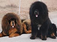 大型獒犬强壮高大图片