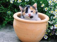 超小迷你型可爱茶杯猫图片