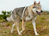 沉稳帅气的捷克狼犬图片