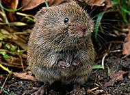 白天活动的小田鼠图片