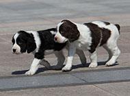 史宾格犬悠闲散步图片